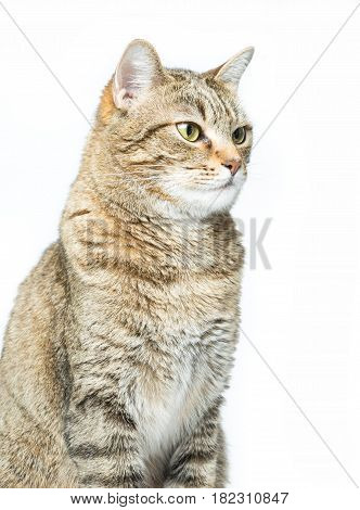Portrait of cute European kitten isolated on white background Animal portrait