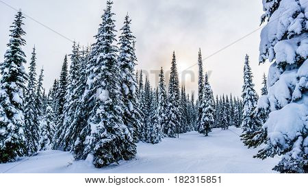Sunset over a Winter Landscape in the Forest of the High Alpine with Snow Covered Trees on the Hills surrounding Sun Peaks Village in the Mountains of the Shuswap Highlands of British Columbia