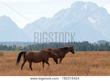 Bay colored horses in front of Mount Moran in Grand Teton National Park in Wyoming USA
