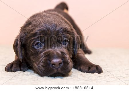 Puppy retriever labrador retriever dog brown chocolate color