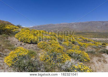 Wildflowers Blooming In Anza-borrego Desert State Park - California