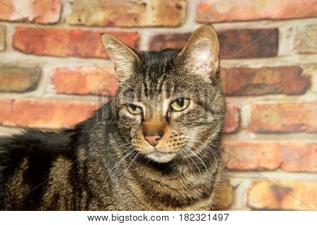 Portrait of a brown domestic tabby cat looking down and to viewers left with a perturbed expression on it's face brick wall in the background.