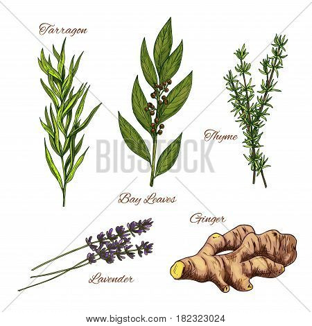 Herbs and spices vector isolated icons set. Spicy tarragon plant, bay leaf culinary condiment, thyme dressing grass, aroma lavender and ginger root for cooking ingredients or farmer market design
