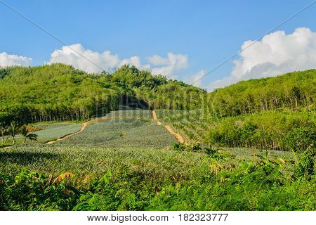 encroach on forests on the mountain in thailand by agriculturist for made farm plants trees rubber and pineapple