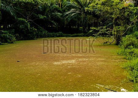 duckweed in the pond happen in palm garden from wastewatef domestic animal in countryside thailand