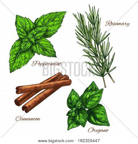 Herbs and spices peppermint leaf, cinnamon aroma condiment for culinary, rosemary and oregano seasoning for salad. Vector sketch icons set of cooking dressing ingredients and flavorings