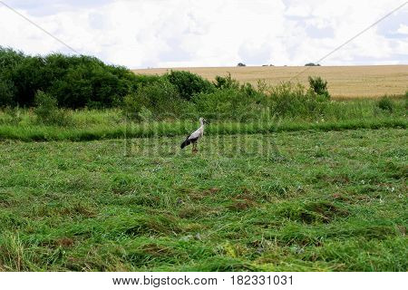 Rural landscape.Among the freshly cut grass is a young stork.