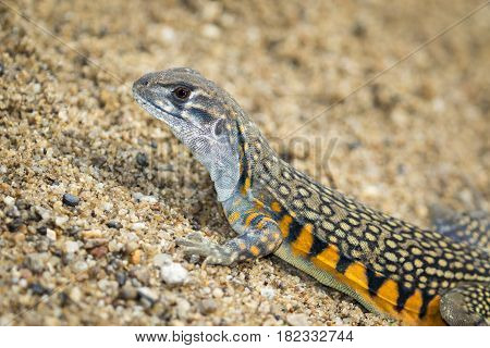 Image of Butterfly Agama Lizard (Leiolepis Cuvier) on the sand. Reptile Animal