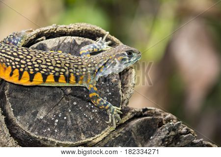 Image of Butterfly Agama Lizard (Leiolepis Cuvier) on nature background. . Reptile Animal