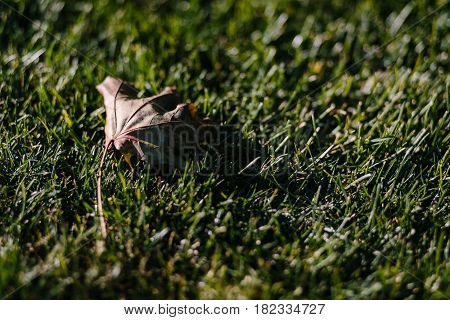 Close up single dry leave on green grass