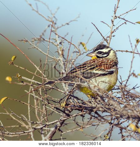 Golden-breasted bunting in Kruger national park, South Africa ; Specie Fringillaria flaviventris family of Emberizidae