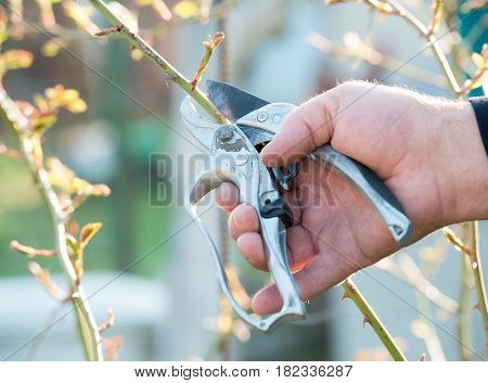 Hand gardener pruning the bushes with cutting tool