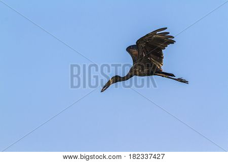 African openbill in Kruger national park, South Africa ; Specie Anastomus lamelligerus family of Ciconiidae