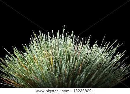 Water Drops On Grass Tussock