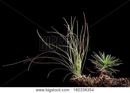 Tiny Pine Sprout And Grass