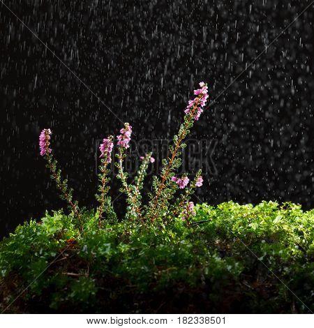 Rain And Ling
