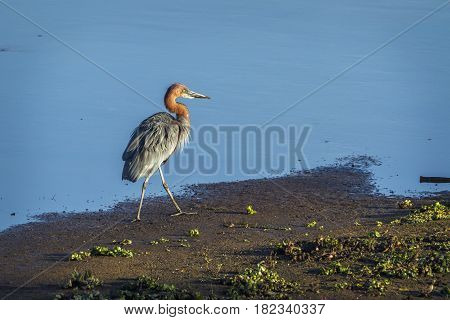 Grey heron in Kruger national park, South Africa ; Specie Ardea goliath family of Ardeidae