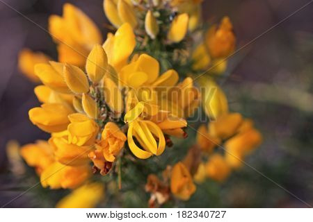 Gorse bush flowering in the spring time
