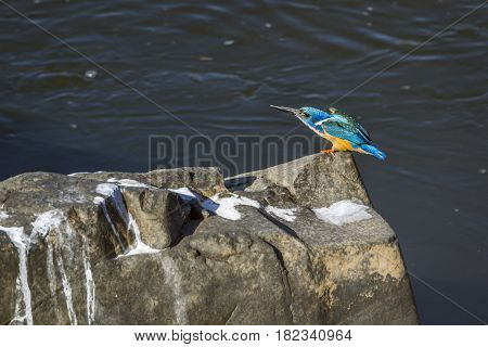 Half-collared kingfisher in Kruger national park, South Africa ; Specie Alcedo semitorquata family of Alcedinidae