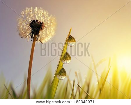 Dandelion flower and blades of grass with dew drops at sunrise. Spring season.
