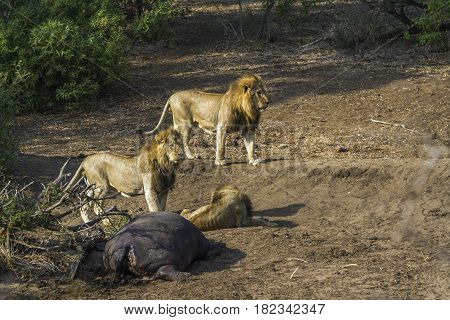 African lion in Kruger national park, South Africa ; Specie Panthera leo family of Felidae