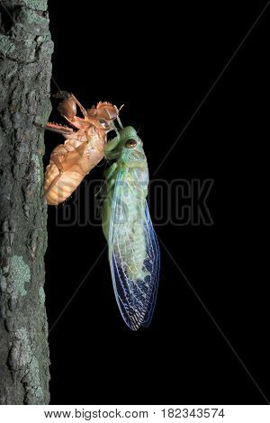 Macro a cicada freshly emerged from its on black background.