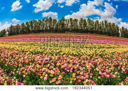 The scenic field. Spring in Israel. Magnificent multicolored flowering garden buttercups. The concept of modern agriculture and industrial floriculture