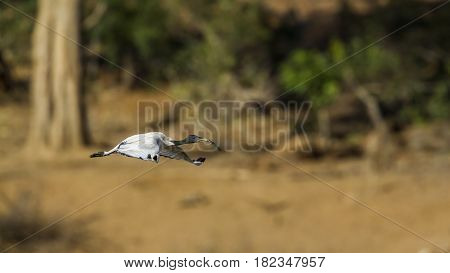 Sacred ibis in Kruger national park, South Africa ; Specie Threskiornis aethiopicus family of Threskiornithidae
