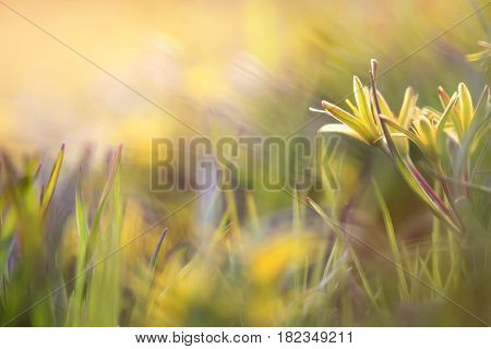 Sunny yellow flowers goose on the grass natural colorful spring background