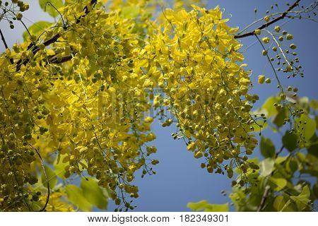 Small Yellow Flower Or Cassia Fistula Flower
