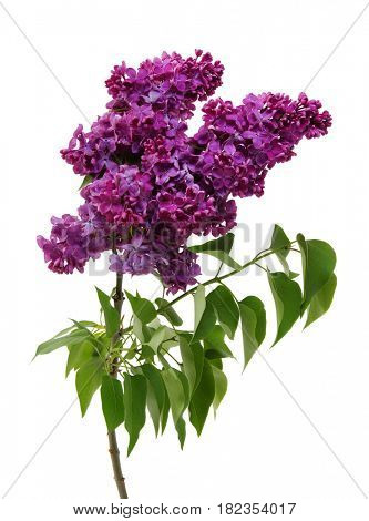 Flowering branch of lilac  isolated on white background