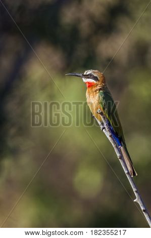 White-fronted bee-eater in Kruger national park, South Africa ; Specie Merops bullockoides family of Meropidae