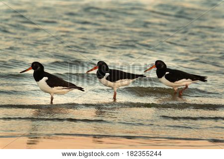 Three Oyster catchers in the seashore during sunset