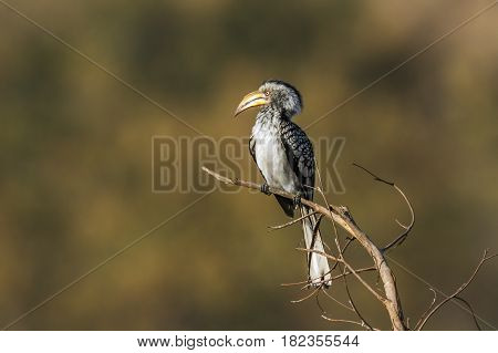 Southern yellow-billed hornbill in Kruger national park, South Africa ; Specie Tockus leucomelas family of Tockus leucomelas