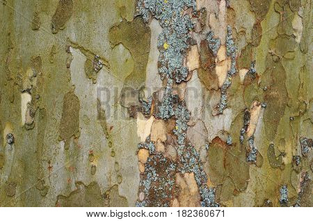 Bark of old plane tree (sycamore). Natural textured background.