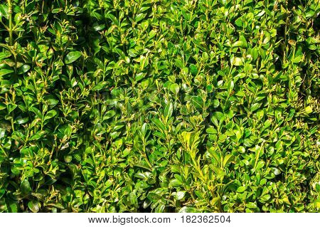 Boxwood green leaf, background green nature summer