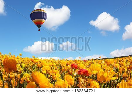 The  blossoming fields of garden buttercups. Huge multicolored balloon flies slowly over the field. Concept of rural and extreme tourism