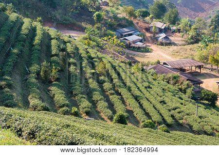 Chiang Rai, Thailand. - Feb 27 2015: View Of Tea Plantation. Landscape Of Tea Plantation At Doi Mae