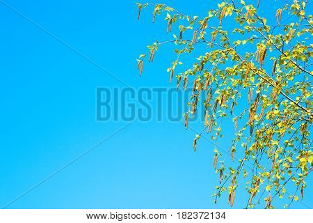 Spring background with branch of birch catkins with Copy Space. Birch catkins at tree branches close up on sunny day on the background of a clear blue sky. Colorful Wallpaper with selective focus.