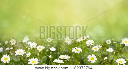 Nature Background with blossoming daisy flowers. Flower meadow Summer with selective focus. Horizontal Colorful Wallpaper With Copy Space. Wide Screen Web banner