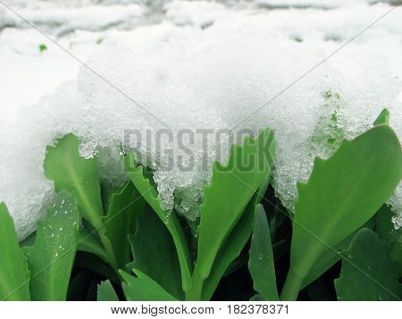 Green Leaves Of A Plant Under Snow In Spring
