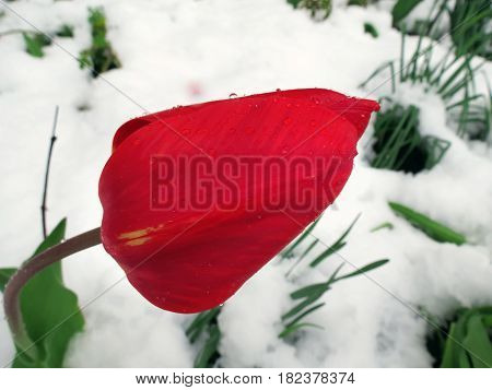 Red Tulip In Looking Through The Snow