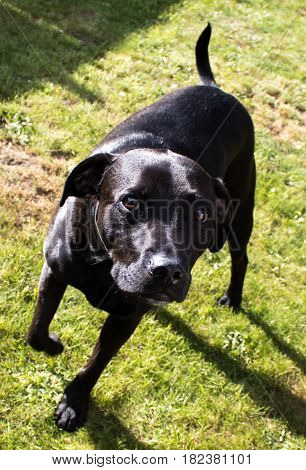 Beautiful glossy shiny black Labrador Staffordshire Bull Terrier crossbreed dog with sad eyes on gras awaiting command