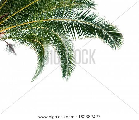 Isolated Palm Leaves on white background