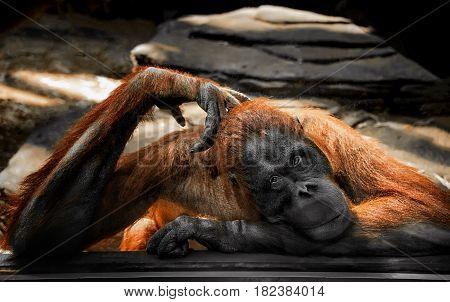 sad brooding big ginger orangutan behind glass at the zoo looking into the lens horizontal frame