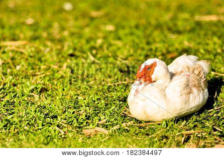 white duck red nose standing on the grass