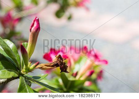 Abstract dry Flowers Azalea flowers. Red Flowers. natural flowers Azalea flowers. Impala Lily or Desert Rose or Mock Azalea beautiful pink flower in garden.