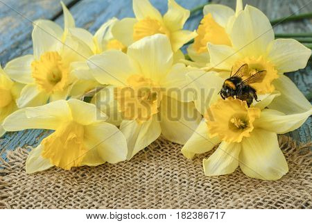 Spring bumblebee with yellow daffodils on a wooden surface