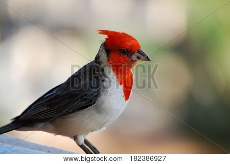 Red crested cardinal bird standing on a railing.