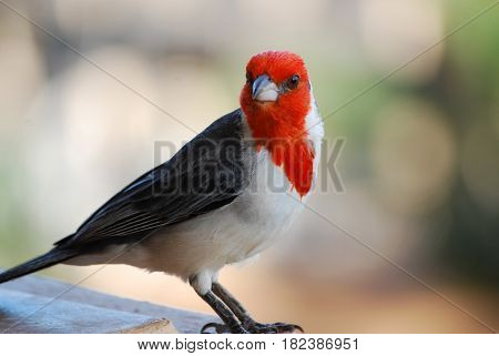 Face of a red crested cardinal bird standing along a railing.